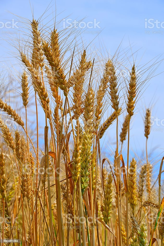Field of ripe mature wheat ears under blue sky royalty-free stock photo