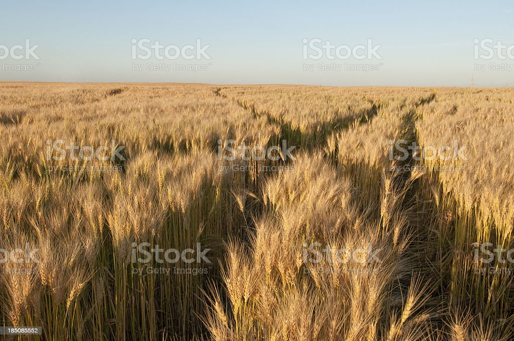 Field of ripe wheat at harvest time royalty-free stock photo