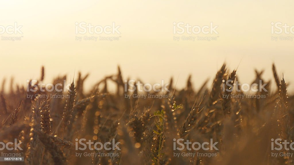 Field of ripe wheat at sunset. Golden  in summer  sunrise foto de stock libre de derechos