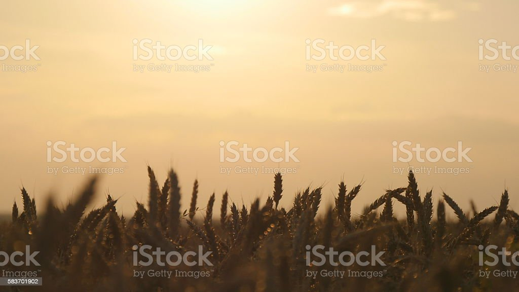 Field of ripe wheat at sunset. Golden  in summer  sunrise foto de stock libre de derechos