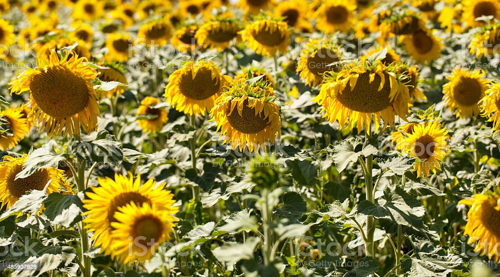 field of ripen sunflowers in natural daylight stock photo