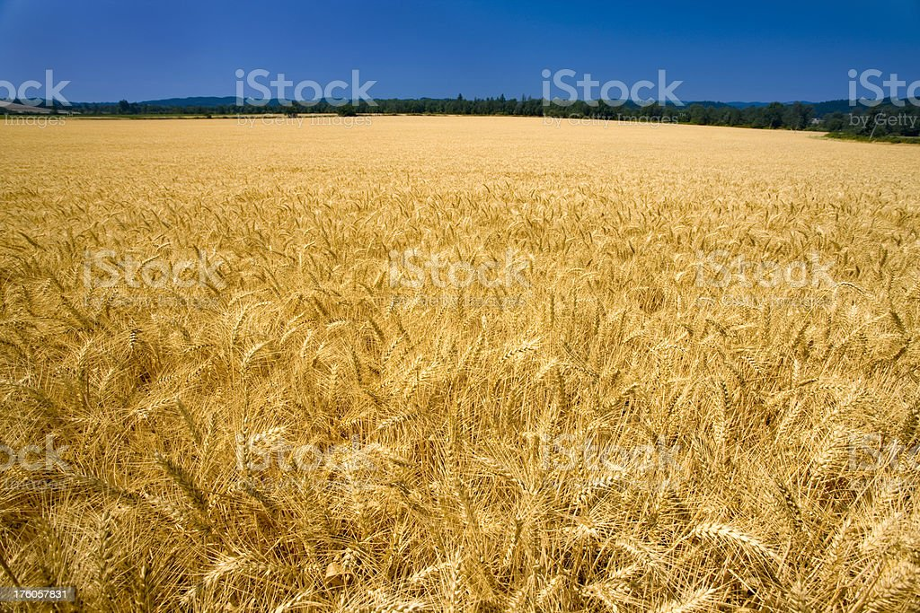 Field of ripened wheat growing under a clear blue sky stock photo