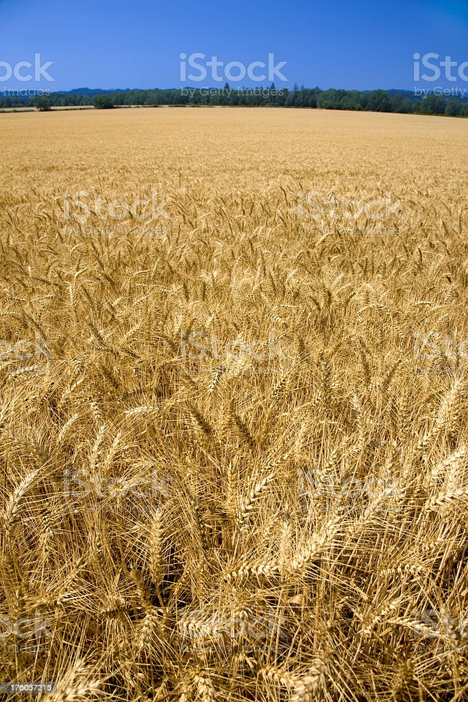 Field of ripened wheat under a clear blue sky stock photo