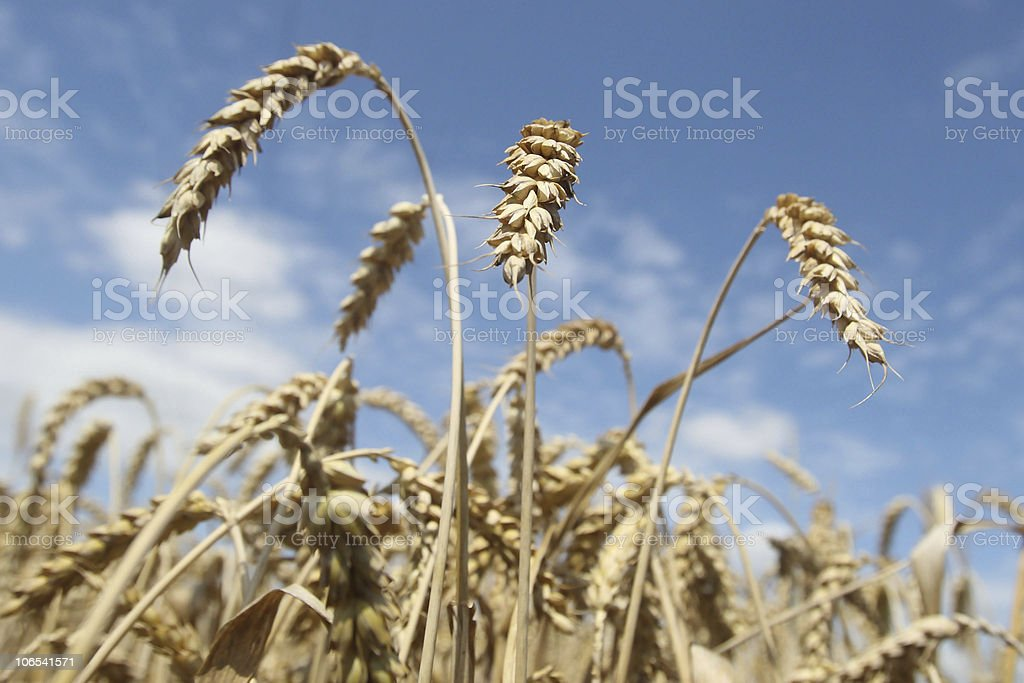 Field of ripening wheat against blue sky royalty-free stock photo