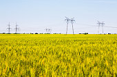 Field of ripening wheat with electricity pylons