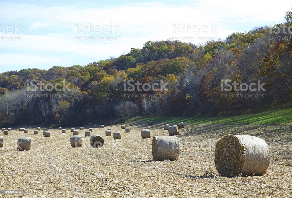 Field of Round Hay Bales royalty-free stock photo