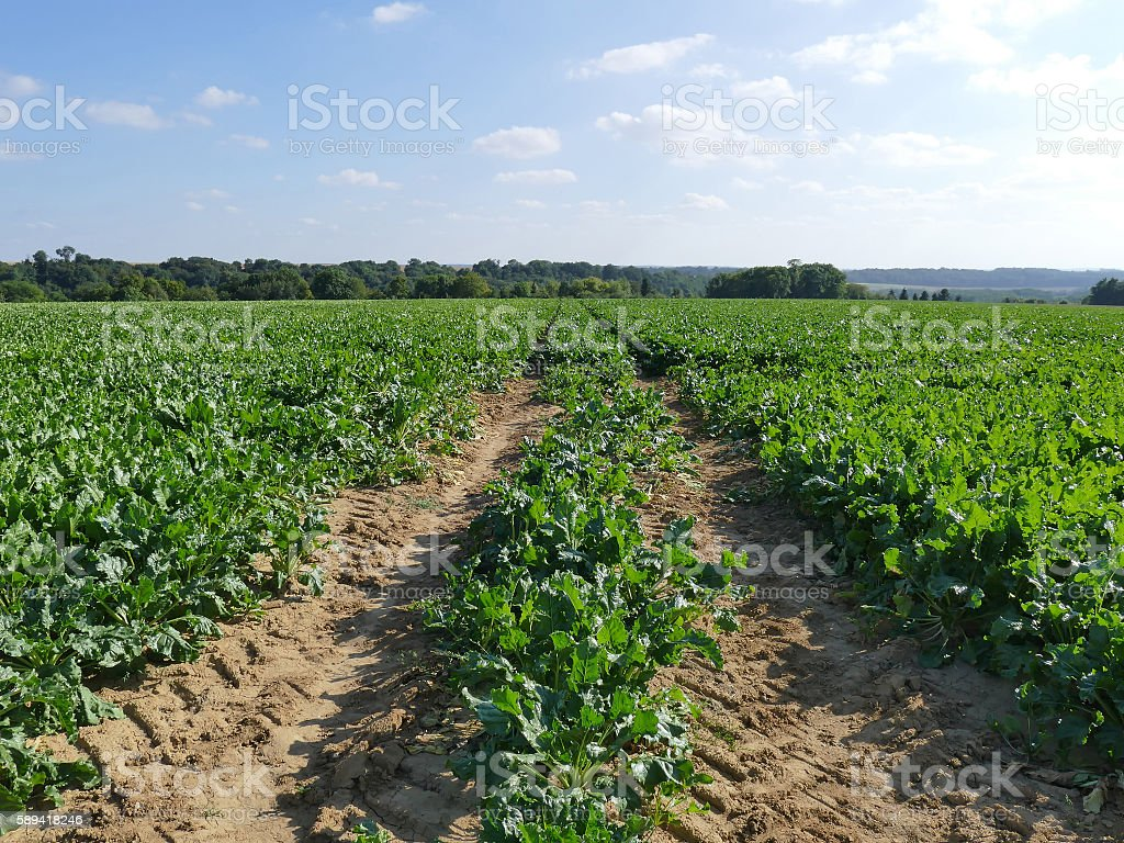 Field of rows of Sugar beet plants in the sun stock photo