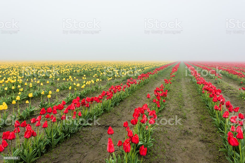 Field of rows of yellow and red tulips in fog stock photo