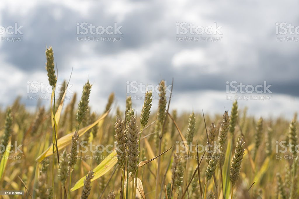 Field of rye against great cloudscape stock photo