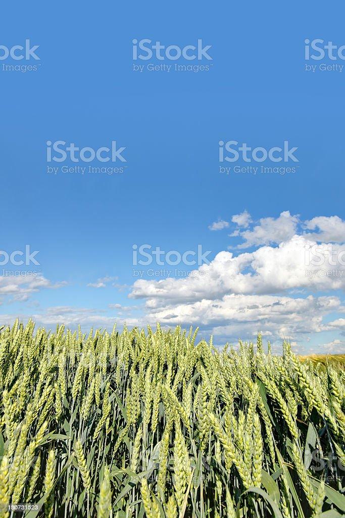 field of rye in sunlight royalty-free stock photo