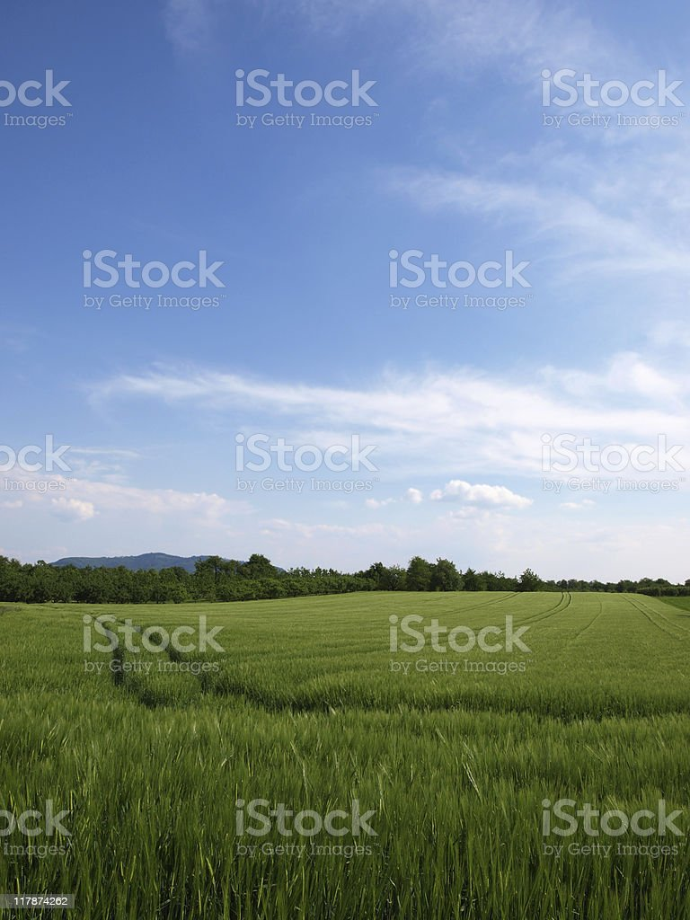field of rye stock photo