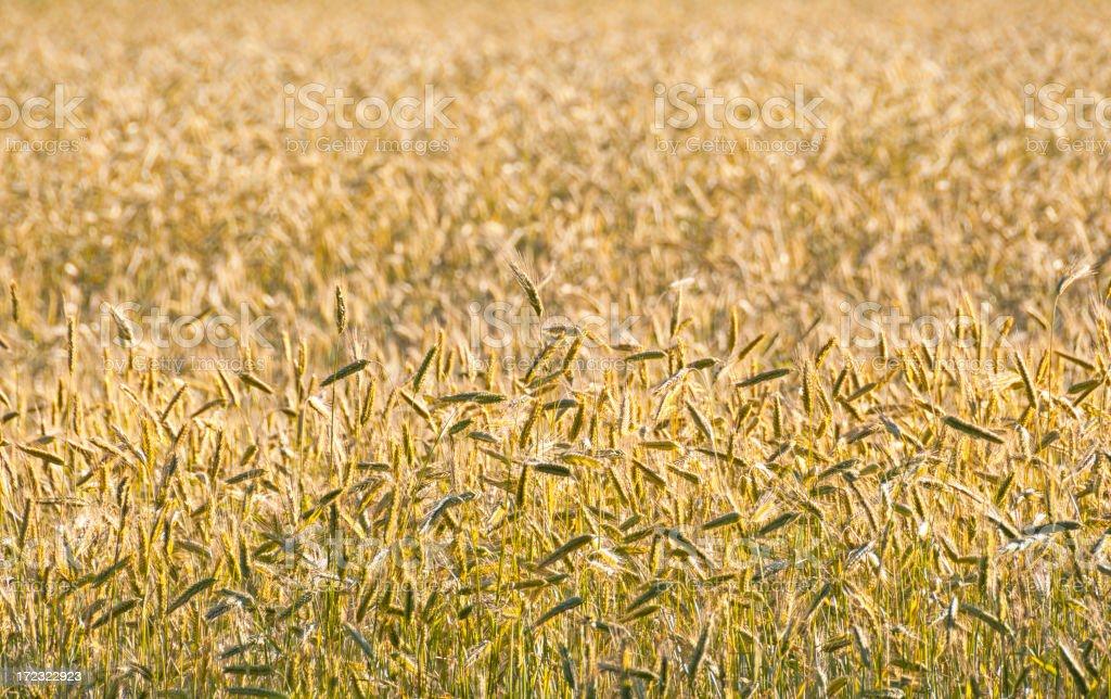 Field of Rye royalty-free stock photo