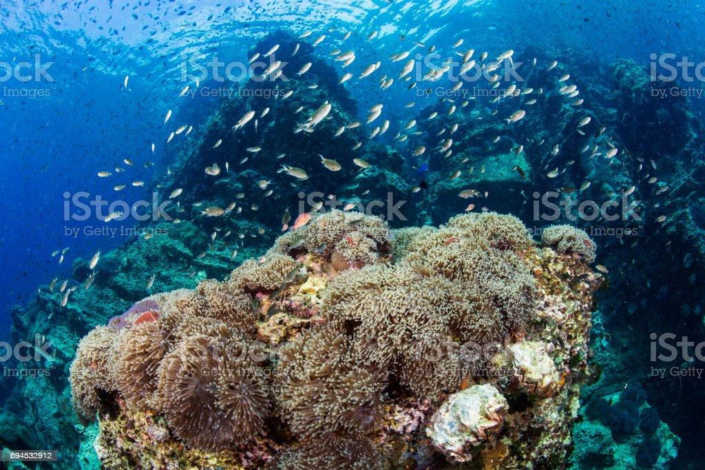 Field of sea anemone stock photo