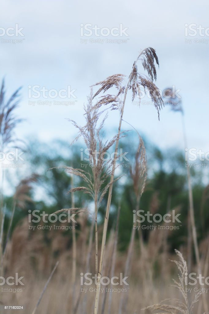 A field of sea grass growing on a path. stock photo