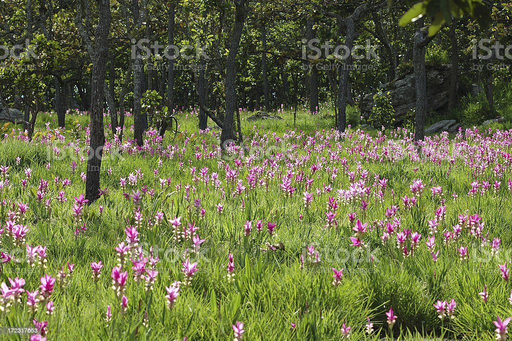 Field of siam lily royalty-free stock photo
