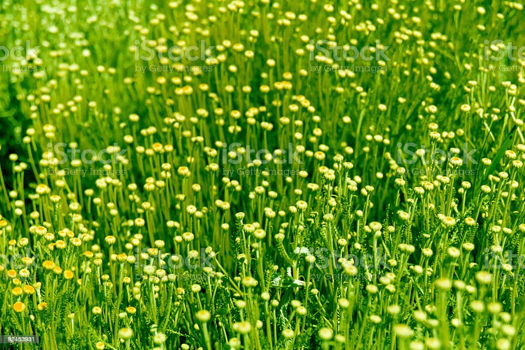 field of small flowers royalty-free stock photo