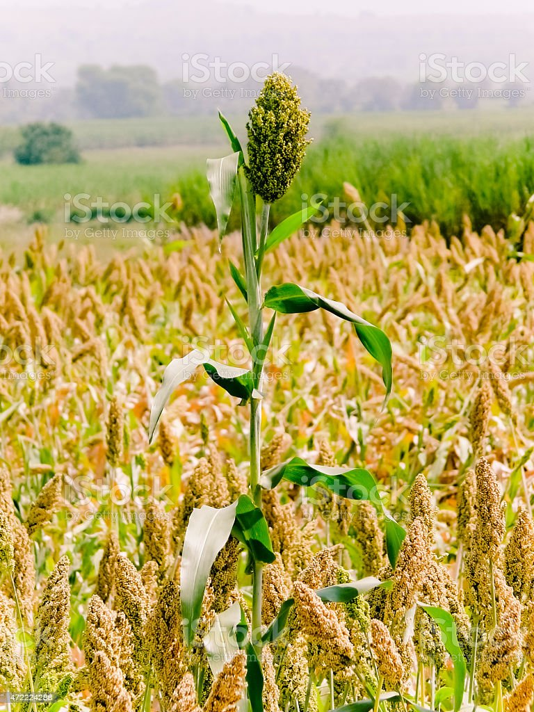 Field of Sorghum bicolor stock photo