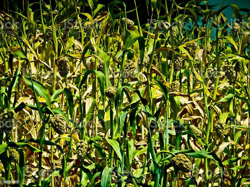 Field of Sorghum bicolor stock photo