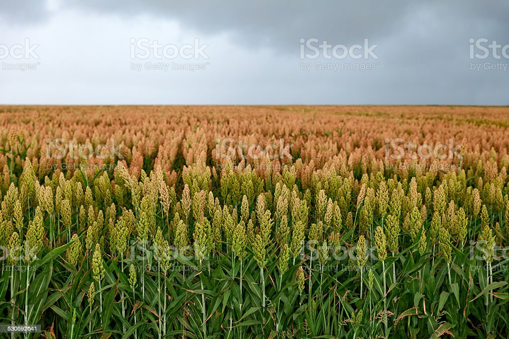 field of sorghum stock photo
