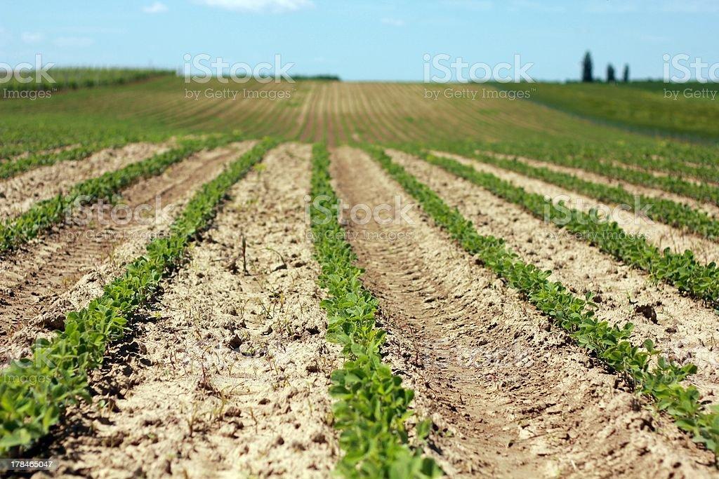 Field von Soja Lizenzfreies stock-foto