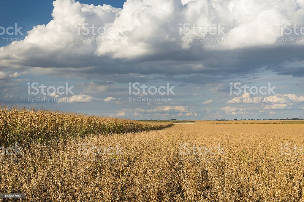 Field of Soybeans royalty-free stock photo