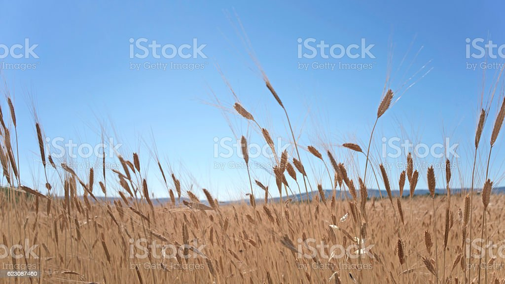 Field of spelt under a blue sky stock photo