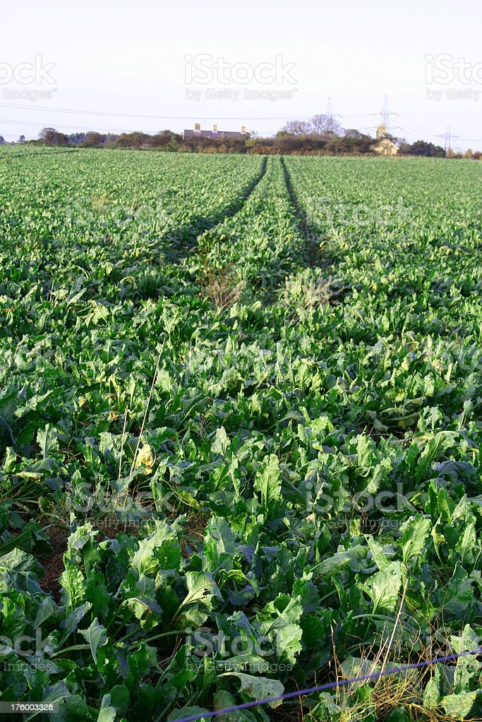 Field of spinach in Suffolk England royalty-free stock photo