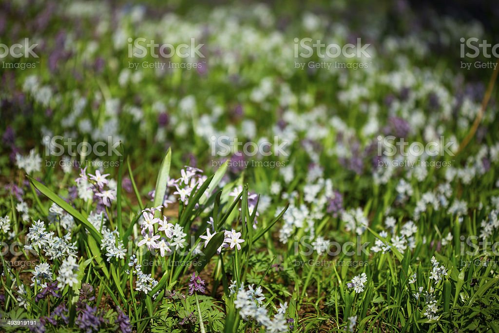 Field of spring flowers stock photo