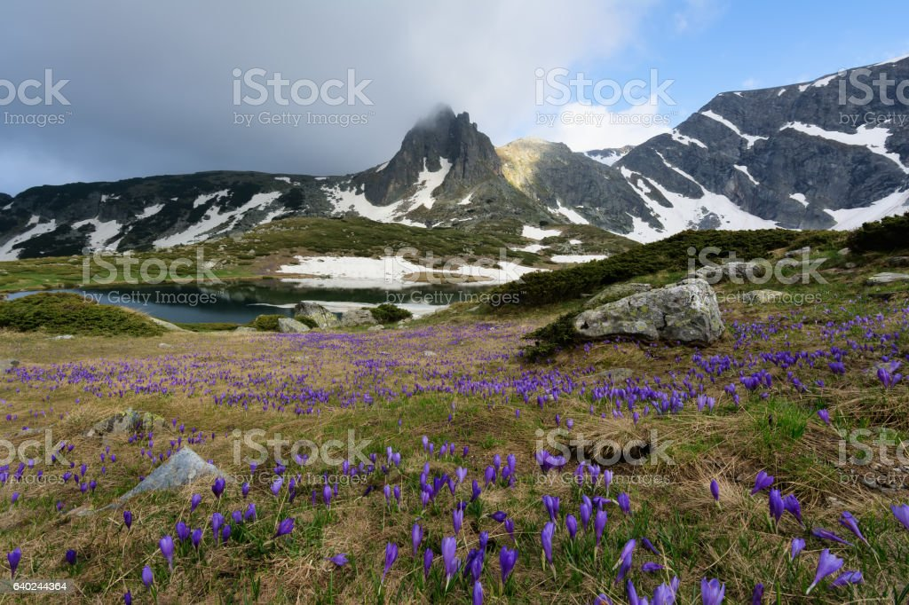 Field of spring time crocuses in the Rila Mountains, Bulgaria stock photo