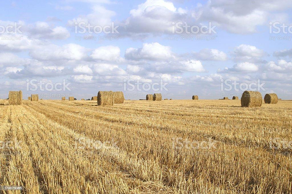 field of straw bales 1 stock photo