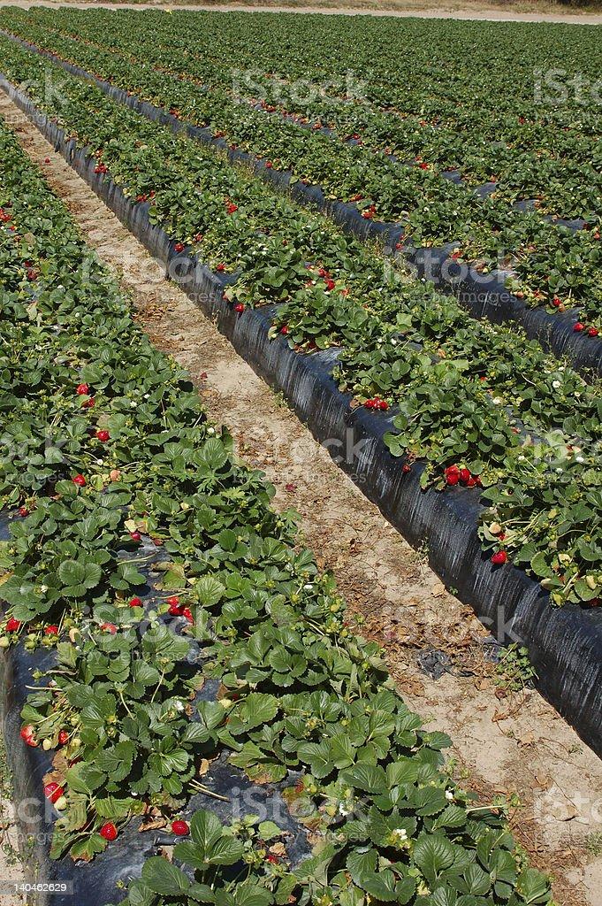 Field of strawberries stock photo
