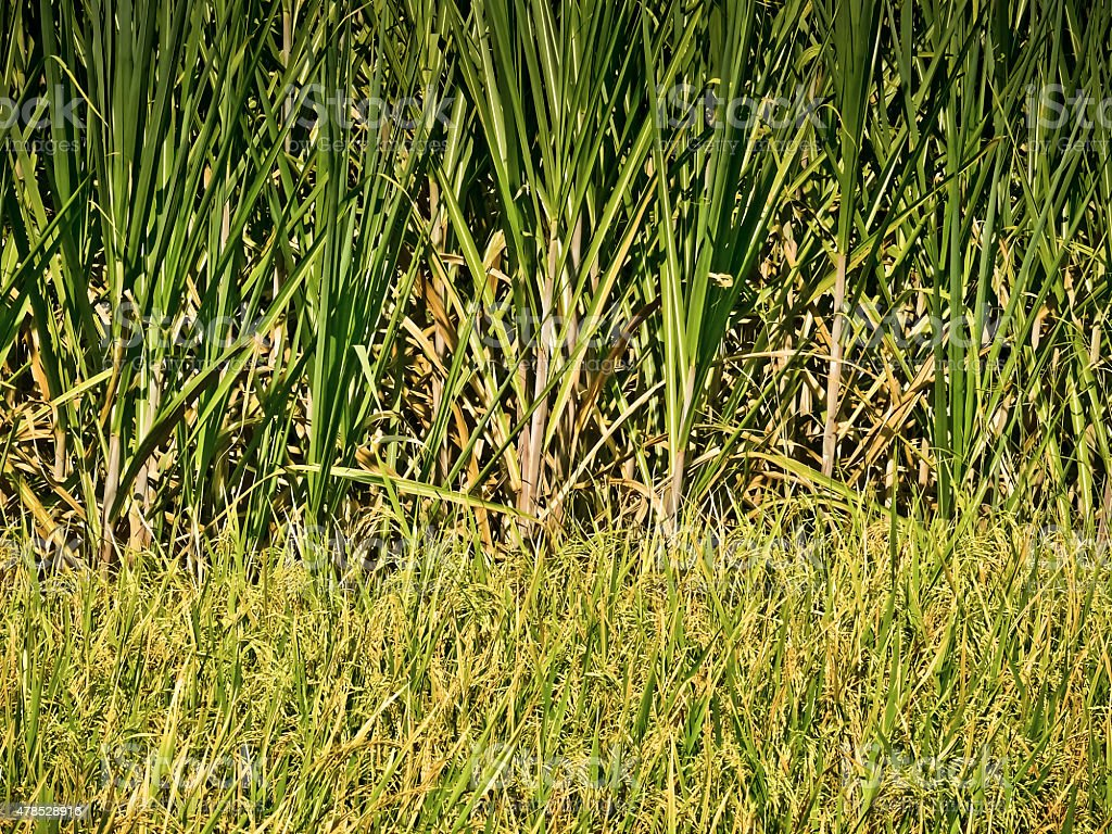 Field of Sugarcane stock photo