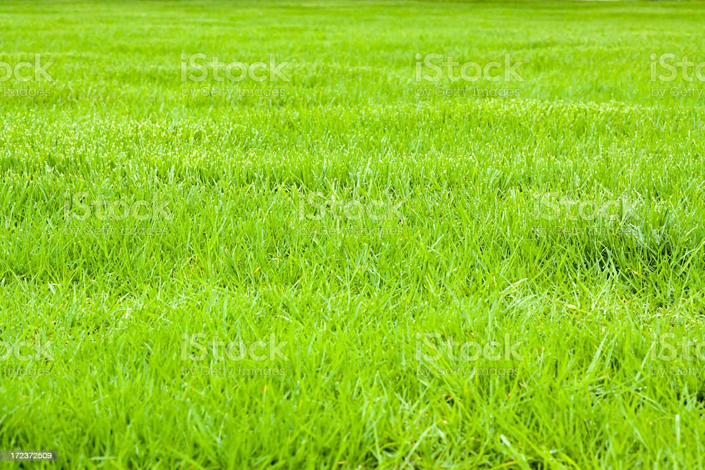 Field of summer green grass for background with copy space royalty-free stock photo