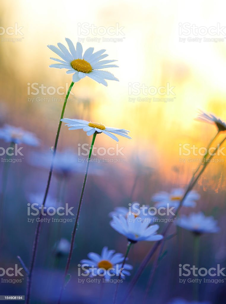 field of summer marguerites in dawn, bavaria, germany stock photo