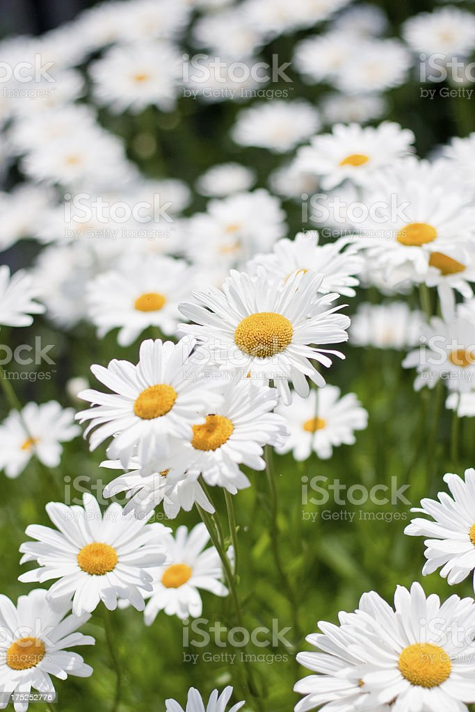 Field of Summer Wild Flowers White Daisies royalty-free stock photo