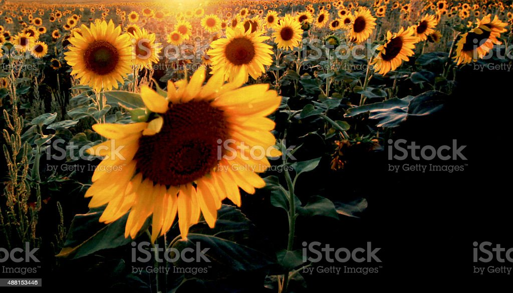 Field of Sunflower Flowers stock photo