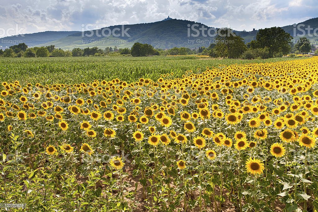 field of sunflower with mountains background royalty-free stock photo
