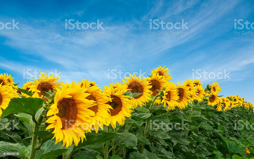 Field of sunflowers against of clear blue sky stock photo