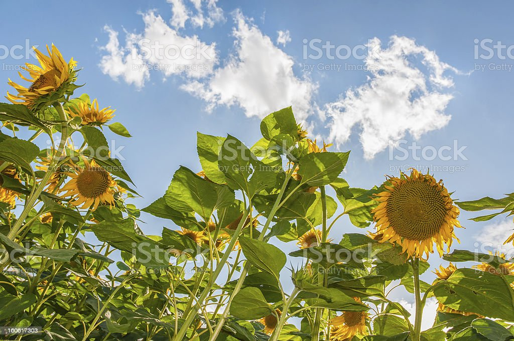 Field of sunflowers and blue sky in the background stock photo