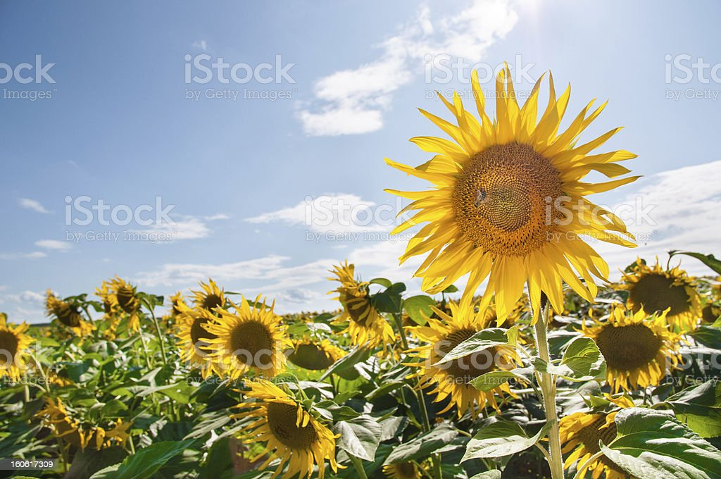 Field of sunflowers and blue sky in the background royalty-free stock photo
