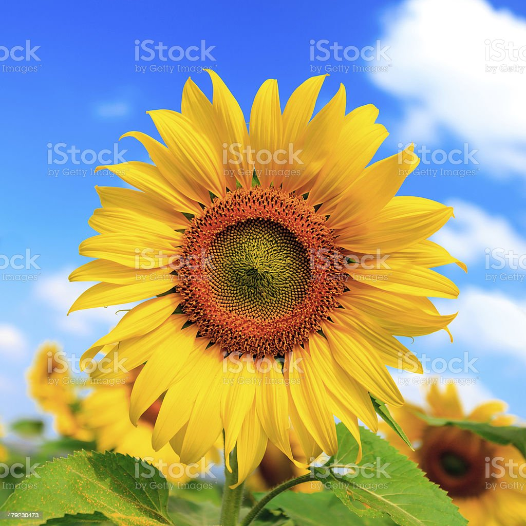 Field of sunflowers and blue sky stock photo