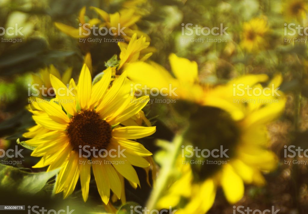 Field of sunflowers and sun stock photo