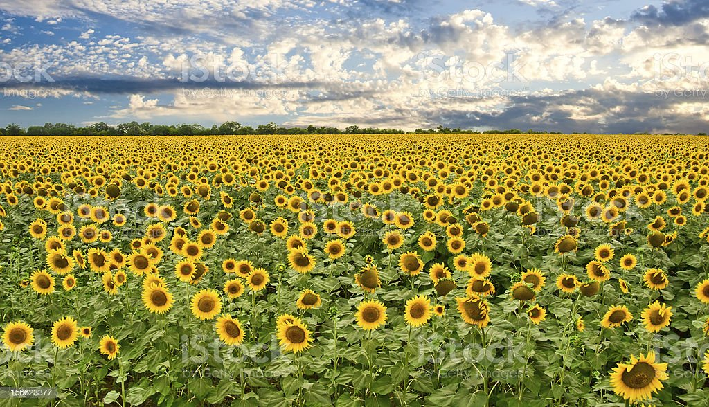 field of sunflowers and sunset sky royalty-free stock photo
