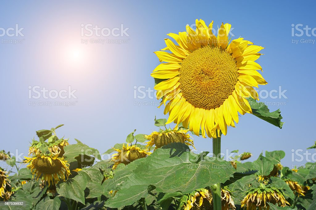 Field of sunflowers. Composition of nature. stock photo