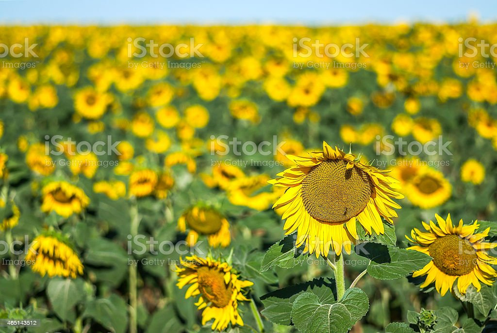 field of sunflowers, high horizon the background out of focus stock photo