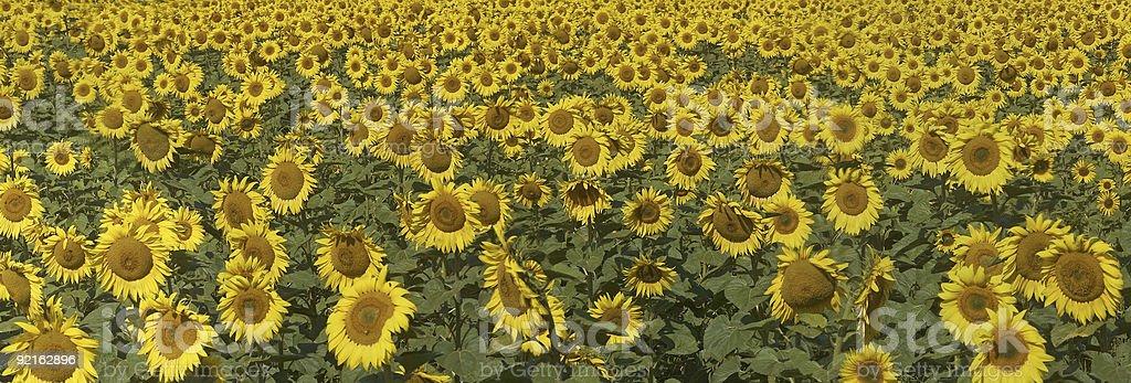 Field of sunflowers. Horizontal panoramic view. royalty-free stock photo