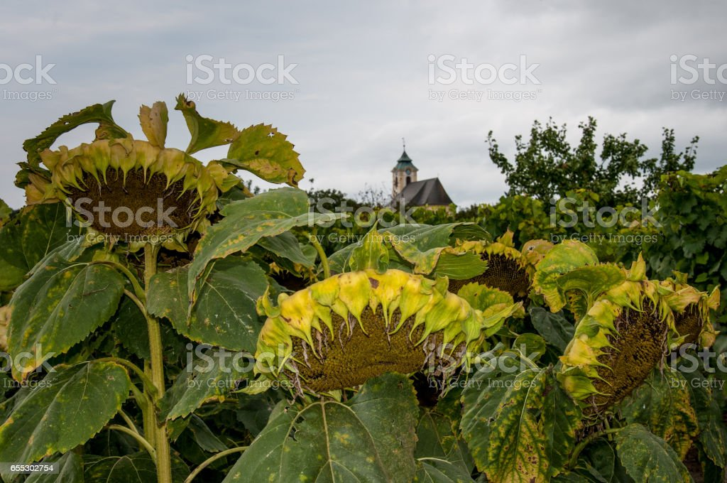 field of sunflowers in front of a church stock photo