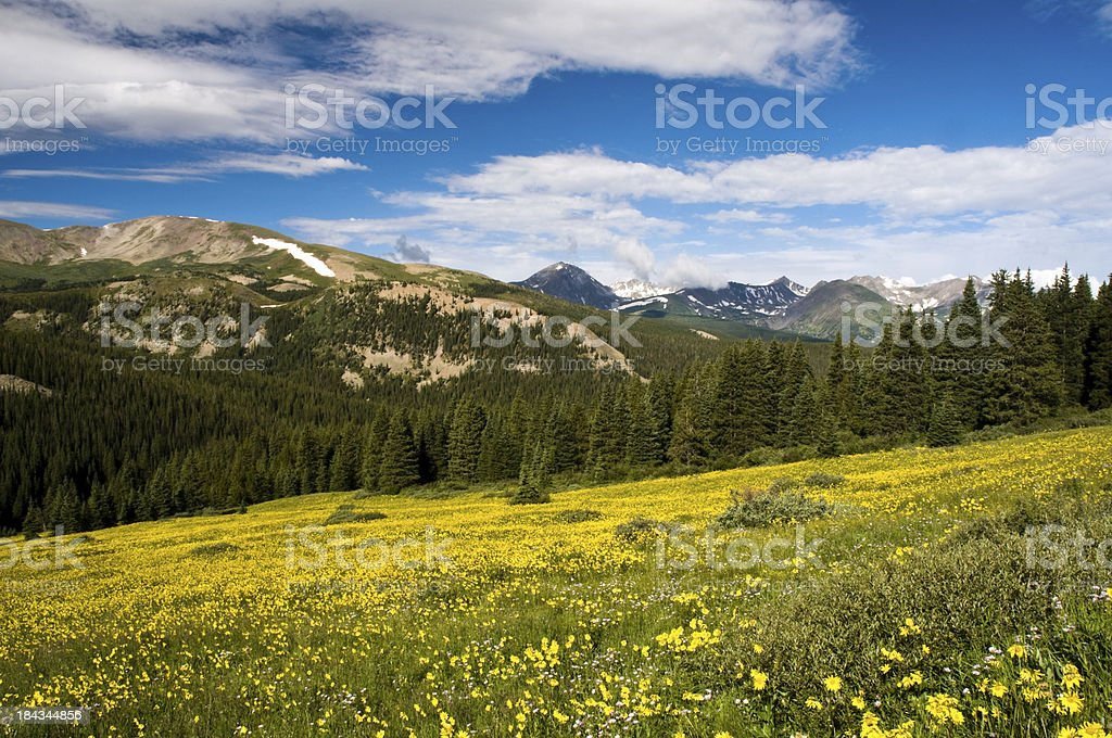 Field of Sunflowers in the Rocky Mountains stock photo