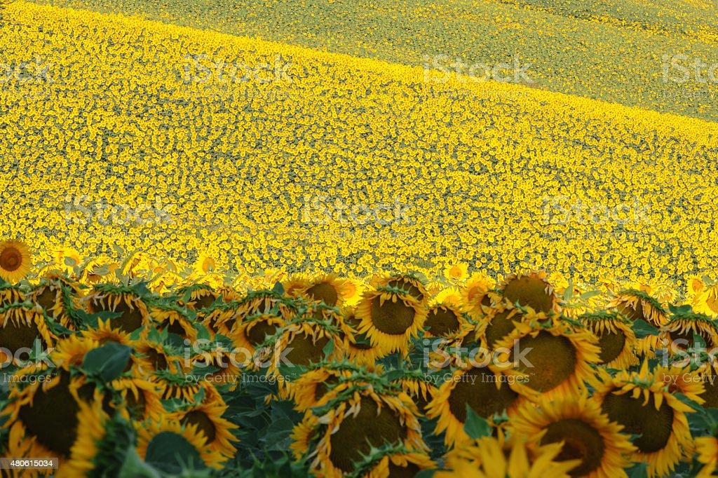 Field of sunflowers, Italy stock photo