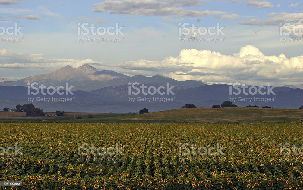 Field Of Sunflowers - Longs Peak In The Background, Colorado stock photo